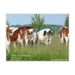 Les vaches au pré à Réchésy